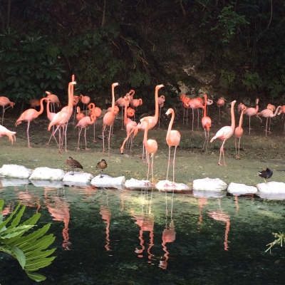 Flamingos at the Santo Domingo Zoo